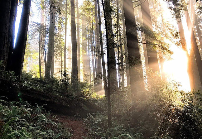 Sunlight through the redwoods. Photo: Rob DiPerna.